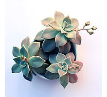Succulent in Evening Light Photographic Print