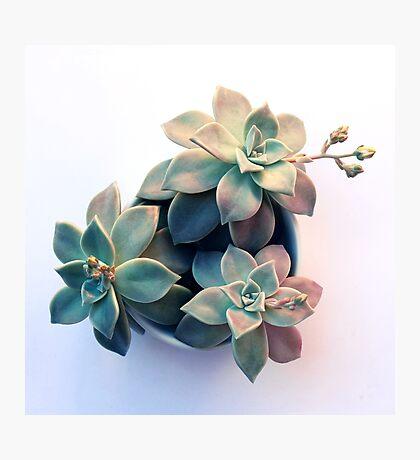 Succulent in Evening Light Photographic Print