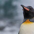 King Penguin  by Steve Bulford