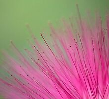 Pink Bristle Brush Flower by mister-matt