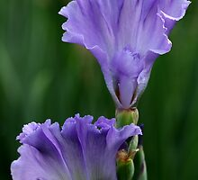 Ruffled Mary Frances Iris by Debbie Oppermann