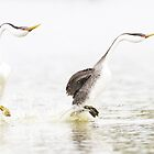 Rushing Grebes by ruth  jolly