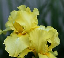 Vibrant Yellow Iris by Debbie Oppermann
