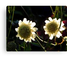 Glowing in the Sun Canvas Print