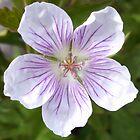 Sticky Purple Geranium by brusling