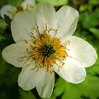Globeflower by brusling