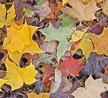Maple Leaves by Steven Ralser