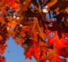 More Than Fifty Shades Of Red - Glossy, Leathery Oak Leaves in the Sunshine - Downward Sticker