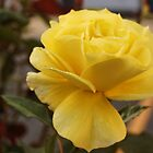 Yellow Rose by Halina Plewak