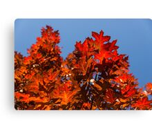 More Than Fifty Shades Of Red - Glossy Leathery Oak Leaves In The Sunshine - Upward Canvas Print