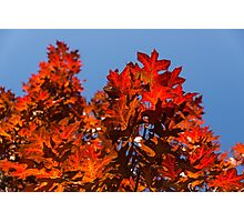 More Than Fifty Shades Of Red - Glossy Leathery Oak Leaves In The Sunshine - Upward Photographic Print