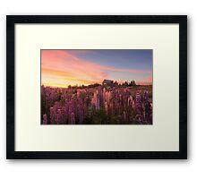 Lake Tekapo Lupins Framed Print