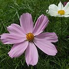 Pink and White Cosmo Flowers by MidnightMelody