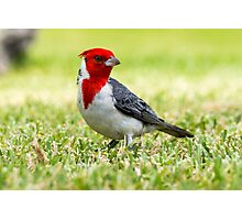 Red-Crested Cardinal Photographic Print