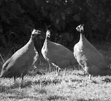 Guinea Fowl by Laura Sykes
