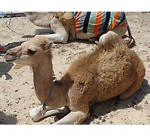 Camel Junior Photographic Print