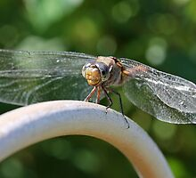 Beautiful Dragonfly (2) by LeJour