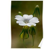 tiny white flower Poster
