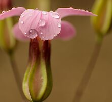 pink raindrops by stresskiller