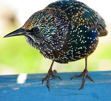 Adult Starling on Gate by Kawka