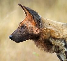Wild Dog Profile by jozi1