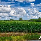 Cotton Fields by TJ Baccari Photography