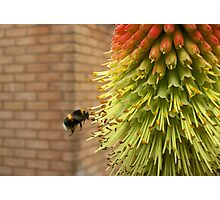 Hovering Bumble Bee Photographic Print