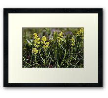 Galium Verum (Lady's Bedstraw), Inishmore, Aran Islands Framed Print