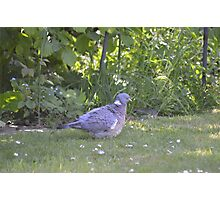 Ruffled Pigeon  Photographic Print