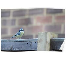 Fence Hopping Blue Tit Poster