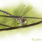 ...its a small World ..the 'libella /dragonfly'  by John44