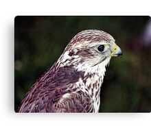 FALCON BEAUTY Canvas Print