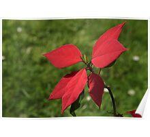 Christmas Poinsettia Poster