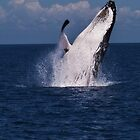 Humpback Whales, Hervey Bay by Jaxybelle
