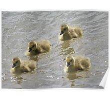 Baby Geese Poster