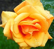 Yellow Peach Rose by maryjanetait