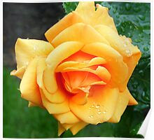 Yellow Peach Rose Poster