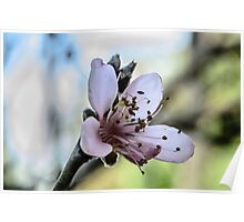 Peach Blossom Close Macro Poster