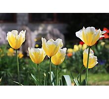Bright tulips Photographic Print