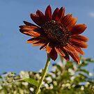 Blushing Sunflower by Kenneth Hoffman
