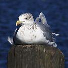 Gull Taking it Easy by AnnDixon
