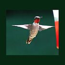 Male Hummingbird #1 by virginian