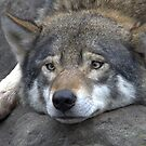 European wolf by Thea 65