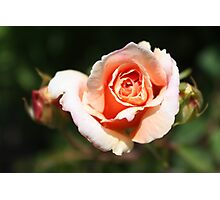 A Rose of Peach Photographic Print