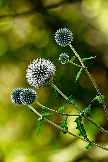 Globe Thistle by Michael Cummings