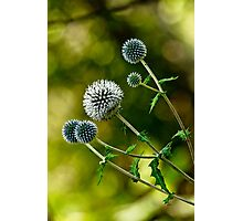 Globe Thistle Photographic Print
