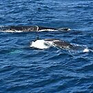 Humpback and calf on the way north by Jaxybelle