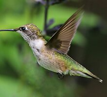 Female Hummingbird by jozi1