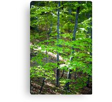 Young beech forest Canvas Print