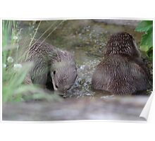 Otters in a River Poster